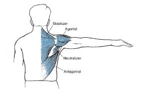 نقش عضله