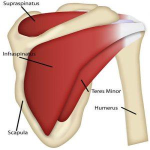 عضلات چرخاننده مفصل شانه
