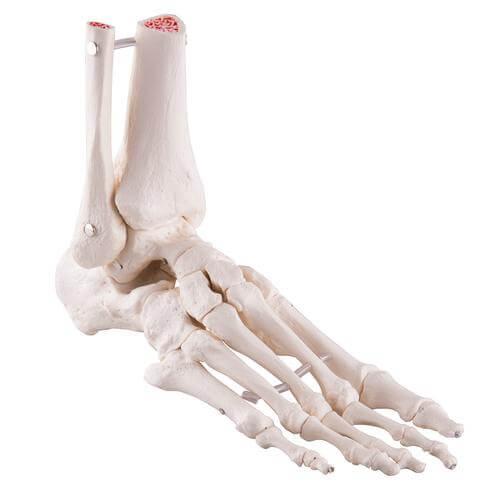 استخوان های مچ پا و پا