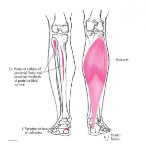 آناتومی عضله نعلی