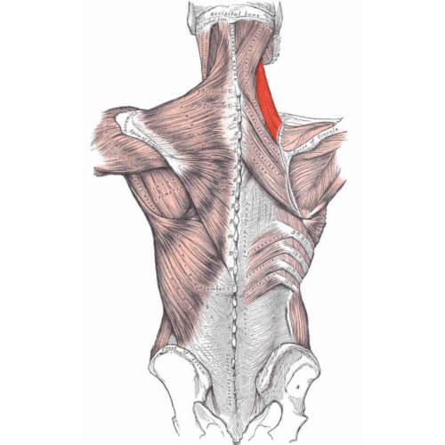 تقویت عضله گوشهای یا عضله بالابرنده کتف