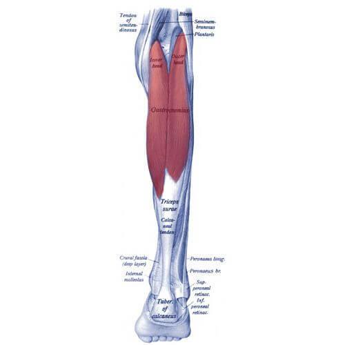 آناتومی عضله دوقلو