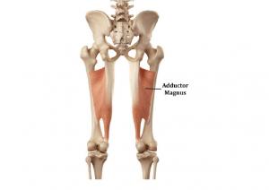 عضلات نزدیک کننده ران یا داخل ران