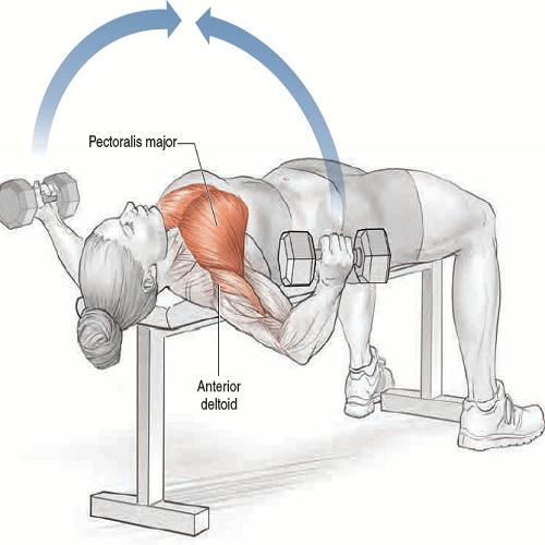 آناتومی حرکات بدنسازی: فلای دمبل(قفسه سینه دمبل)
